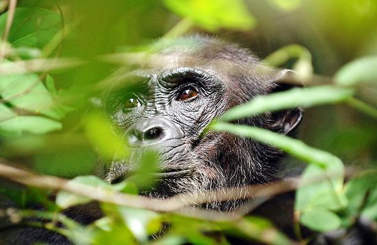 chimpanzee-photography-safari
